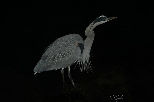 Blue Heron Dana Point CA 2012 717 - no editing (except my name of course)