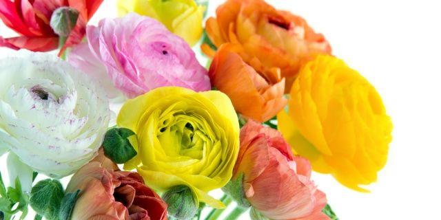 Pryskyřník: v časném jaru přijde vhod