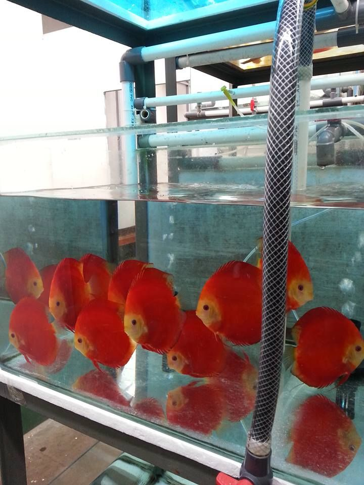 Discus Fish Farm Discus Fish Discus Fish