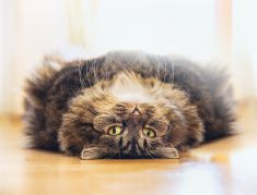 cat lying on his back and looks into camera stock photo