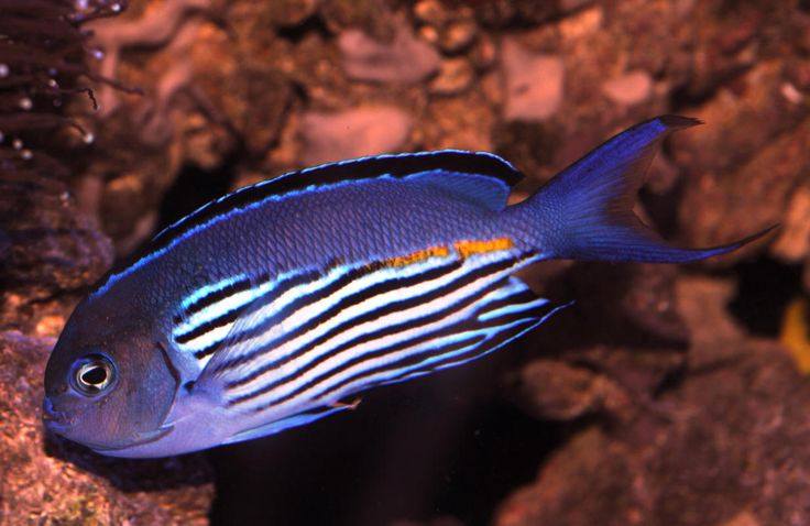 259 Best Reef Safe Fish Images On Pinterest Fish
