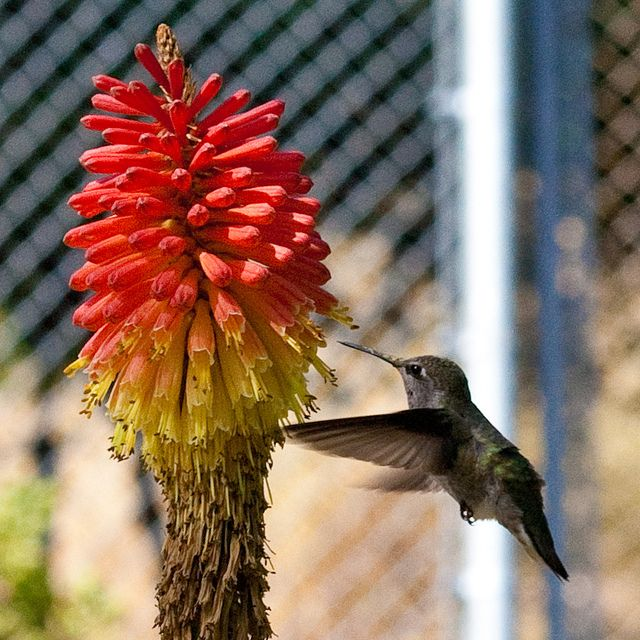 17 Best images about Hummingbird Gardens on Pinterest