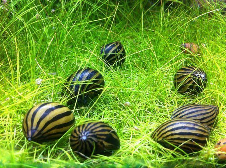 Nerite Snails - Zebra