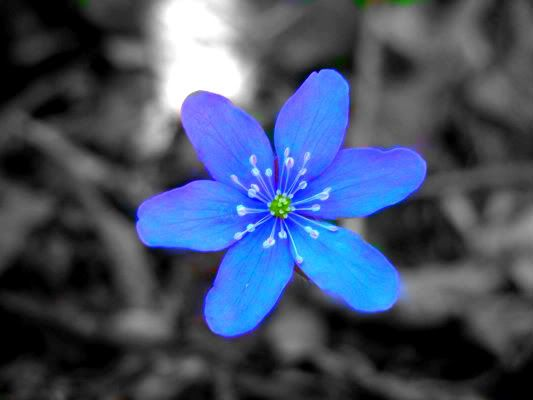 Blue Flower Photo:  This Photo was uploaded by fantasy10895. Find other Blue Flower pictures and photos or upload your own with Photobucket free image an...