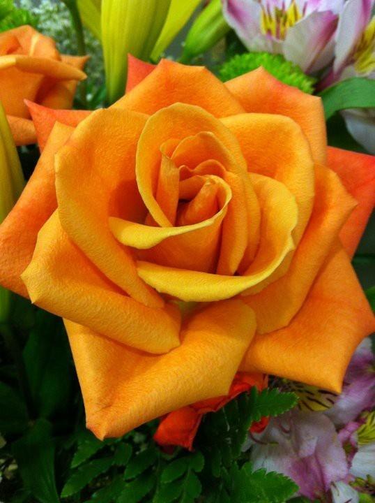 Orange Garden Rose: In The Garden