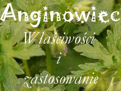 Geranium zwane anginowcem, anginką lub pelargonią szorstką | Uwolnij swoje piękno
