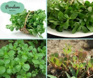 Purslane (Portulaca oleracea) comes from Portulaceae family and has many names…