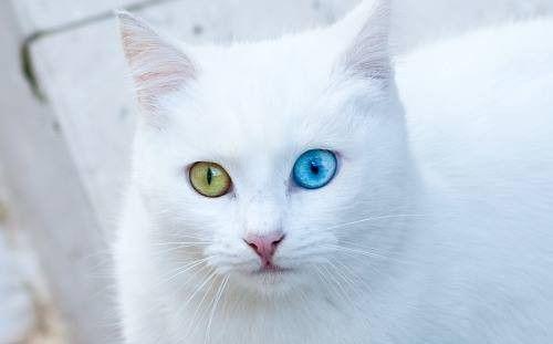 | 25.052016 | Os gatos de Van, típicos dos arredores do lago Van, no leste da Turquia - um símbolo regional -, estão engatinhando para fora da lista de animais ameaçados de extinção. Em 1992, havia menos de cem deles em seu habitat natural. Hoje, após os esforços de uma universidade local, são quase mil bichanos, todos eles com as características típicas da raça — um olho azul-turquesa e o outro cor de âmbar, destacados por uma pelugem completamente branca.