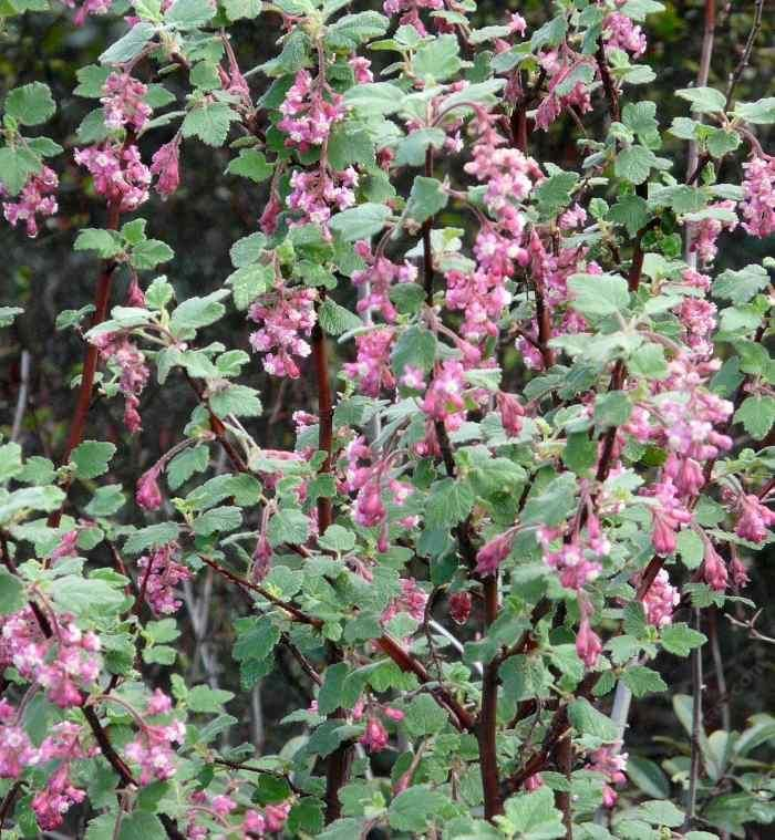 Landscaping Shrubs With Pink Flowers : Plants the shade garden flower show drought tolerant pink