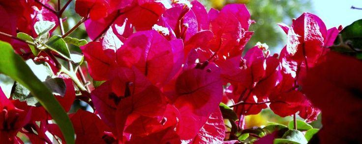 La bugambilia y sus propiedades medicinales . Las propiedades curativas de las plantas no deben ser subestimadas, toma nota sobre las cualidades de la bugambilia, una planta especial y bella, como todas las que habitan con nosotros.