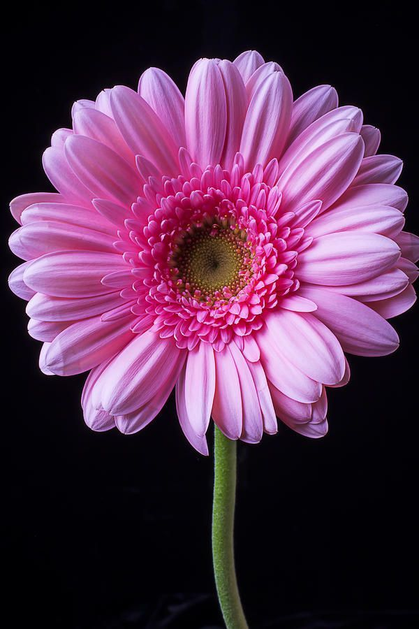 Pin By Happy Creations On 3d Flowers In 2020 Gerbera Flower Pink Gerbera Gerbera Daisy