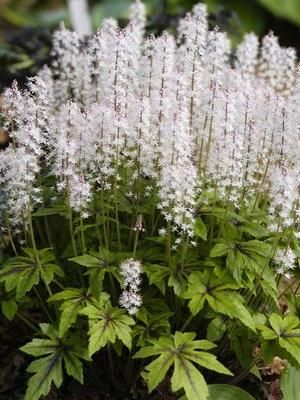 Tiarella Iron Butterfly H S 30Cm Flowering May July 640 x 480