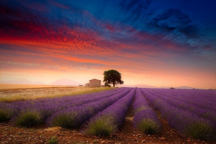 lavendel 6 10 Prachtige Fotos van Lavendelvelden