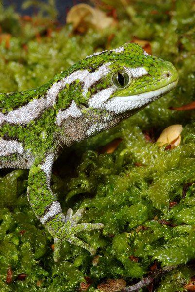 Naultinus rudis; New Zealand Rough Gecko