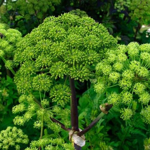 Angelica archangelica, commonly known as Garden Angelica, Holy Ghost, Wild Celery, and Norwegian angelica, is a biennial plant from the Apiaceae family, a subspecies of which is cultivated for its swe