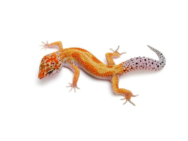 24 Best Images About Leopard Geckos On Pinterest Leopard
