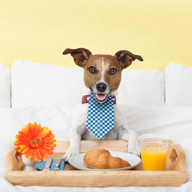 George can #always rely on his #nose to let him know where the #best #breakfast in town is, and #lucky for you it's already #included in our #lastminute #accommodation packages. Visit our #website for #rates  #george #georgieporgie #dog #dogslife #itsadogslife #yummy #bacon #eggs #toast #jam  #sausages #atguvon #special #food #weekendaway #weekendspecial #booknow