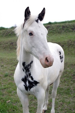 Ah, horse, you are beautiful. White and black perfection.