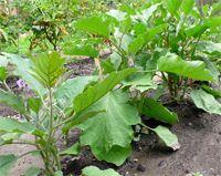 padlizsán termesztés