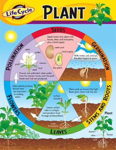 Great Life Cycle of a Plant Poster
