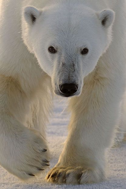 Ursus maritimus is BIG. Each paw can measure 12 inches across.The majority of polar bears in the world live within Canada's borders. The interaction of scientific & local perspectives on polar bears as they relate to harvest, climate change, & declining habitat has recently caused controversy.