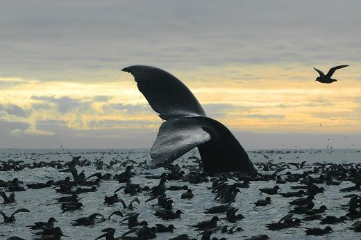 A humpback whale with shearwater birds in Bristol Bay. 5 Things You Need to Know About Alaska's Bristol Bay |
