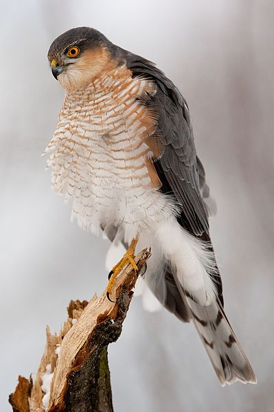 Sparrowhawk - Accipiter Nisus. An adult male in Slovakia.