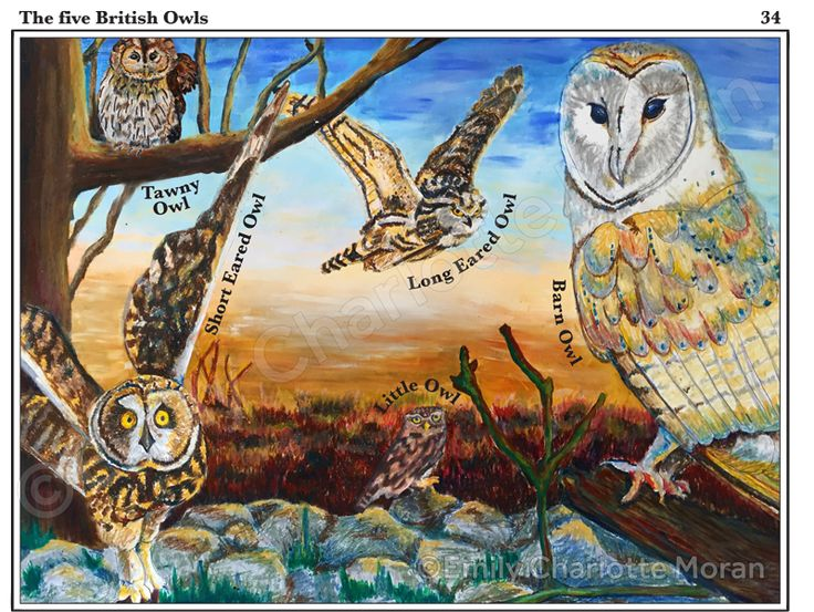 FAT 2 piece, educating children about the five native species of owl found in the UK