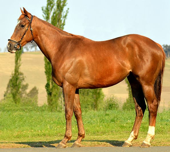 Lot No: 26 Name: QUEEN AT WAR Sire: Brave Tin Soldier  Dam: Supreme Queen