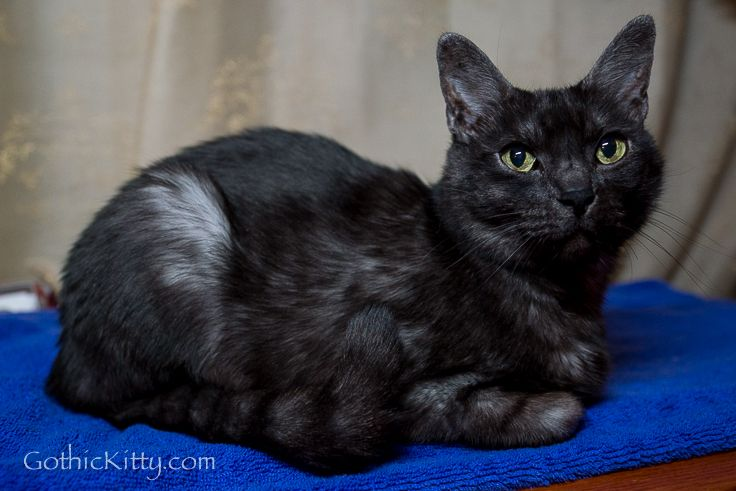 Gothic Kitty Phoebe, black smoke Burmese cat :-)