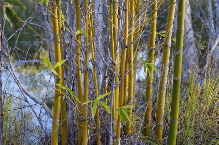 bamboo near the front pond