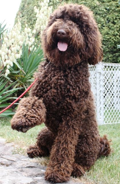 To remember a charmingly fluffy Australian Labradoodle dog