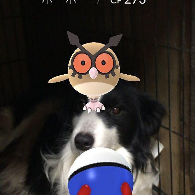 #愛犬#ボーダーコリー#天然ちゃん#Nintendo たまたま #ポケモン#ポケgo#新種#ほーほー  あらたに種類が増えたみたいですね。 クーの鼻にタイミングよくおったので撮った♡✨