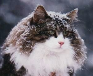 Norsk Skogkatt - Norwegian Forest Cat ...........click here to find out more http://googydog.com