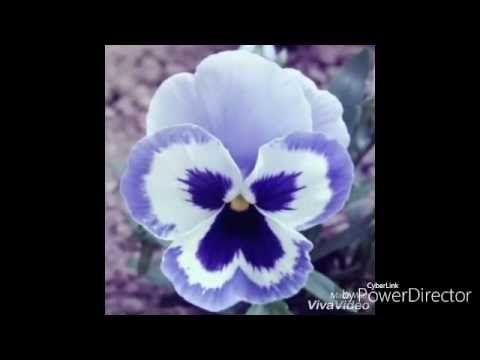 Flor Amor Perfeito De Eva sem Frisador- Por Denise Cardozo - YouTube
