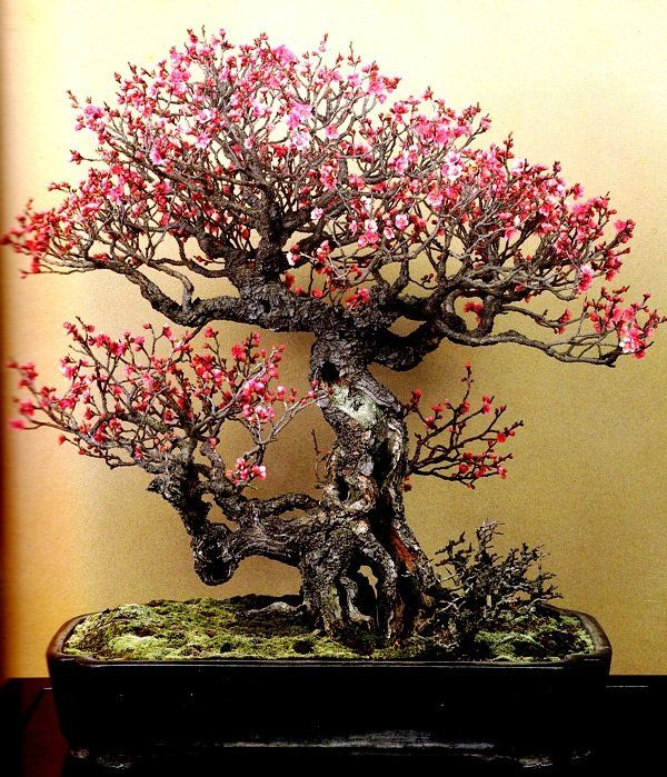 bonsai prunus - Buscar con Google