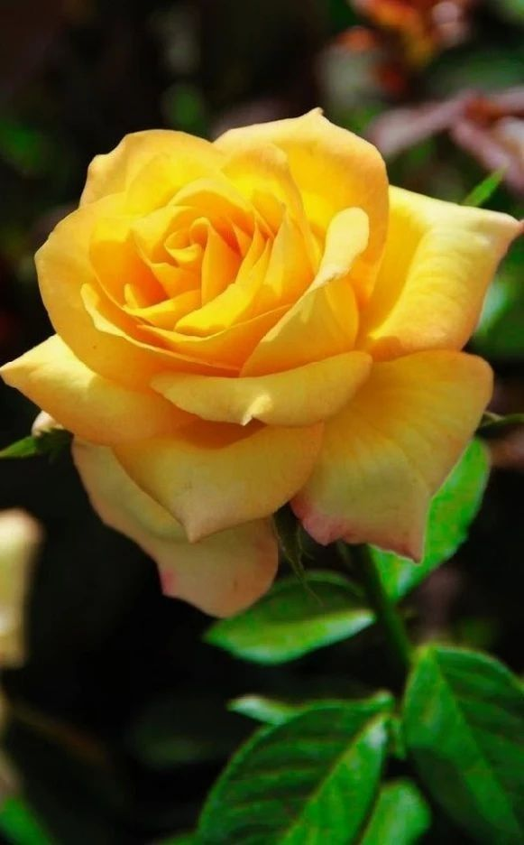 Pin By Margaret Edwards On Roses Pinterest Yellow Roses Flowers
