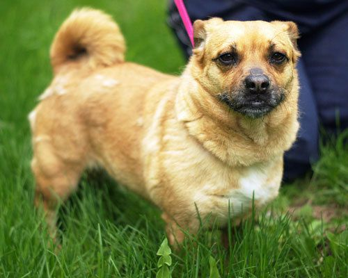 Suzie is an adoptable pug/corgi mix in Beldenville WI.