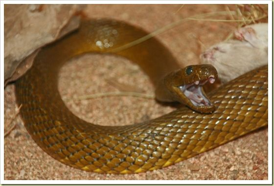 Inland Taipan - Oxyuranus microlepidotus -  Among the world's most venomous serpents, a single bite contains enough toxins to kill 100 adult humans. This is a toxicity claimed to be between 200 and 400 times more powerful than a common cobra. It is endemic to semi-arid regions of central east Australia