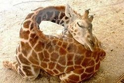 How giraffes sleep apparently, or maybe they just love their butts