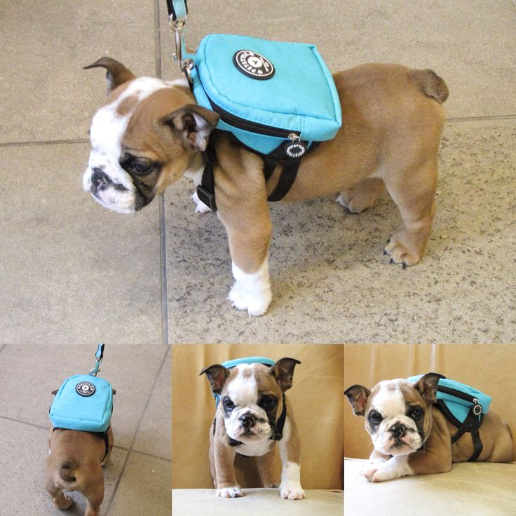 My own backpack to carry all your doggie needs. Doubles as a harness with attachment for included leash. High quality craftsmanship. Chorizo loves helping and carrying his own supplies.   http://mylittleamigo.com/collections/harnesses/products/loveable-fashion-backpack
