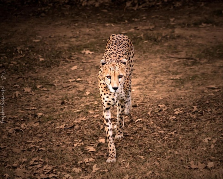 A cheetah walking towards me . Took this at the Fort Worth