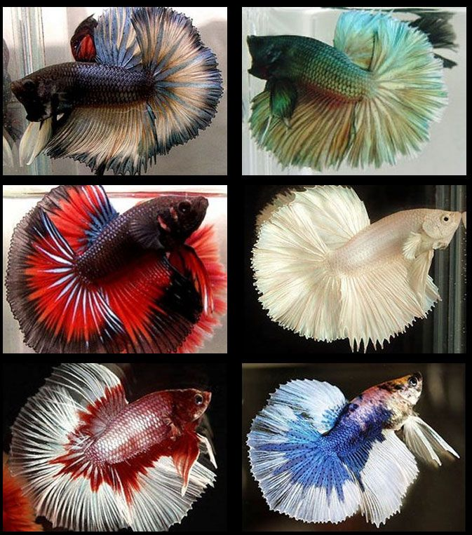 Bettas. If you want these fancy beautiful bettas go to a good bettas breeders, people breed, show them in shows too, Stores not the best places for these beautiful bettas. Breeders breed good health too.