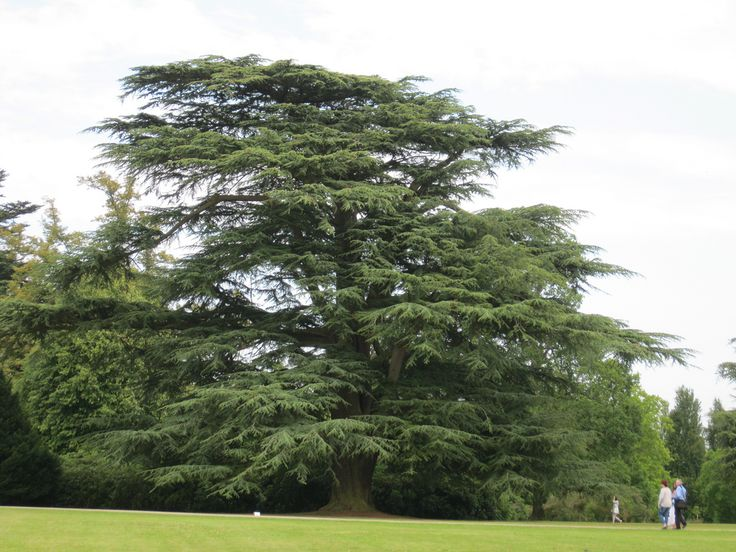 Highclere House Cedar of Lebanon | Explore golygfa's photos… | Flickr - Photo Sharing!