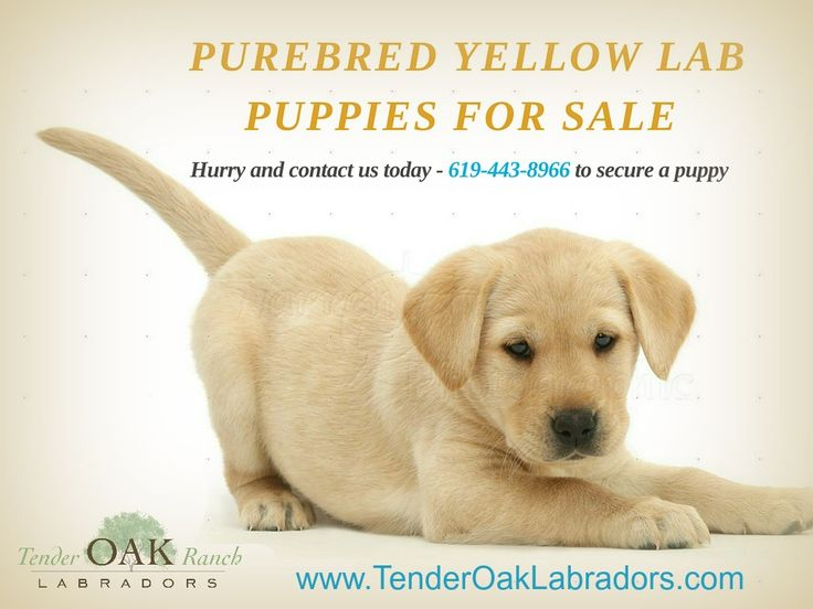 Pictures of Lab Dog Puppy Price - #rock-cafe