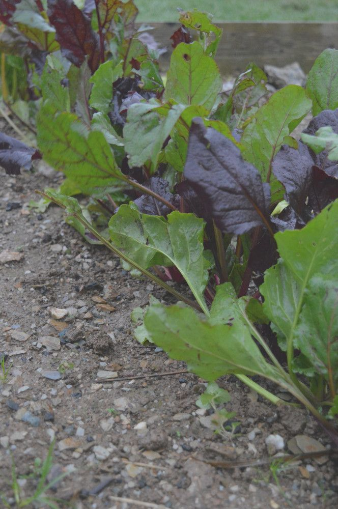 Beetroot from my allotment for my White Chocolate, Beetroot & Cardamon Cake