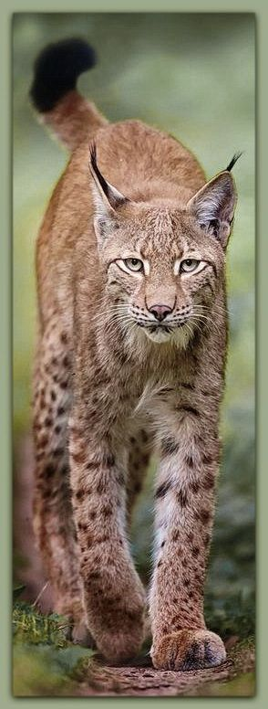 Eurasian Lynx  (Lynx lynx) is a medium-sized cat native to European and Siberian forests, Central Asia and East Asia. It is also known as the European lynx, common lynx, the northern lynx, and the Siberian or Russian lynx.
