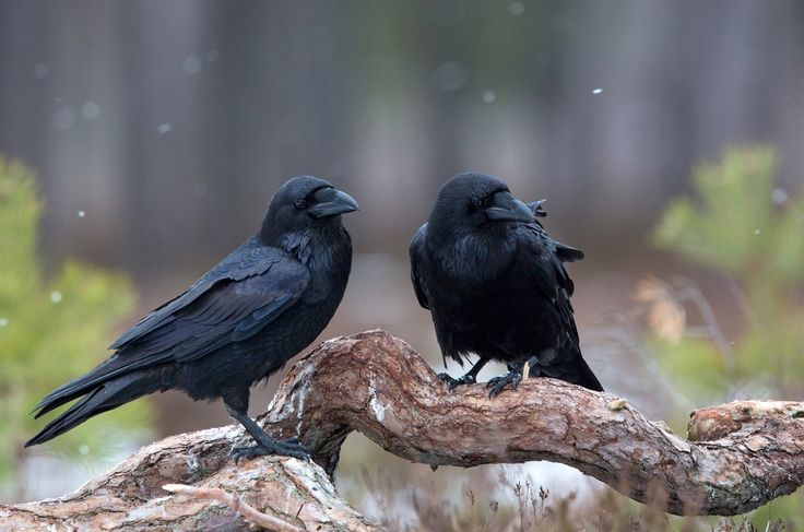Photograph ravens by Lauri Tammik on 500px