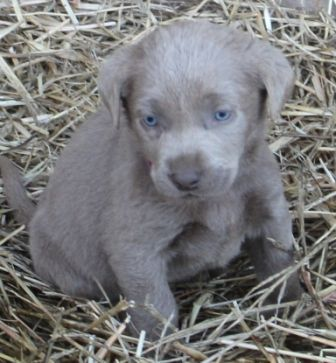 pictures of miniature labradors | Silver and Charcoal mini's are here!!