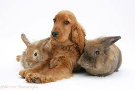 Image result for cocker spaniel with rabbit